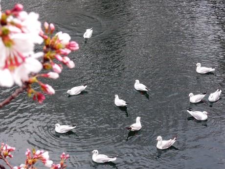 カモメと桜