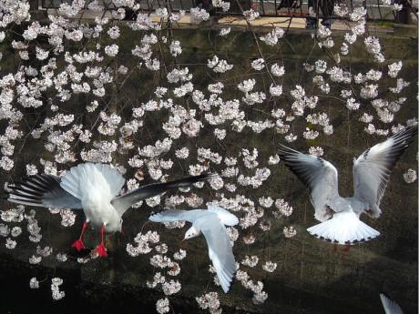 桜とカモメ02