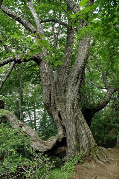 大菩薩峠の巨木02