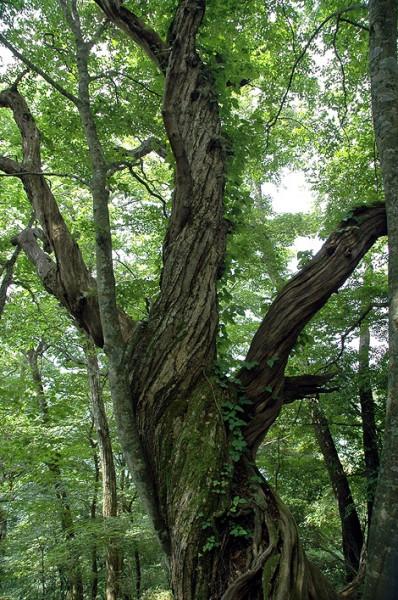大菩薩峠の巨木01