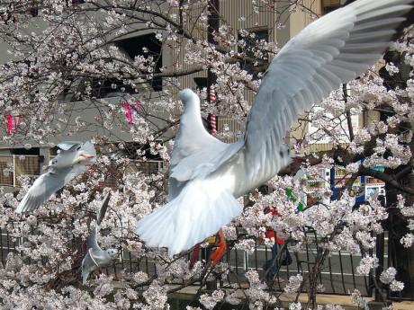 桜とカモメ03