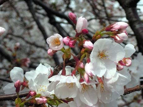 桜の花01