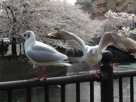 桜とカモメ06