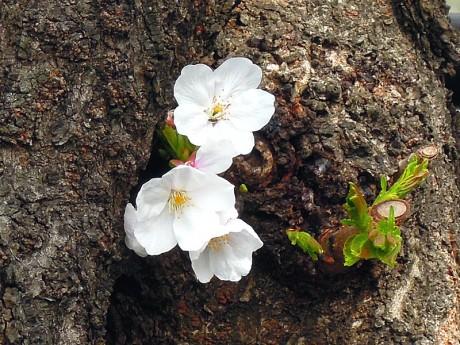 桜の花02
