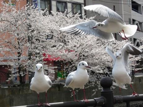 桜とカモメ05
