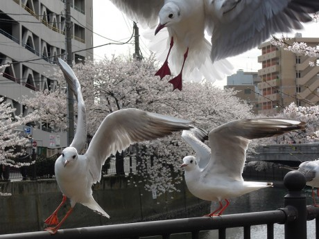 桜とカモメ07